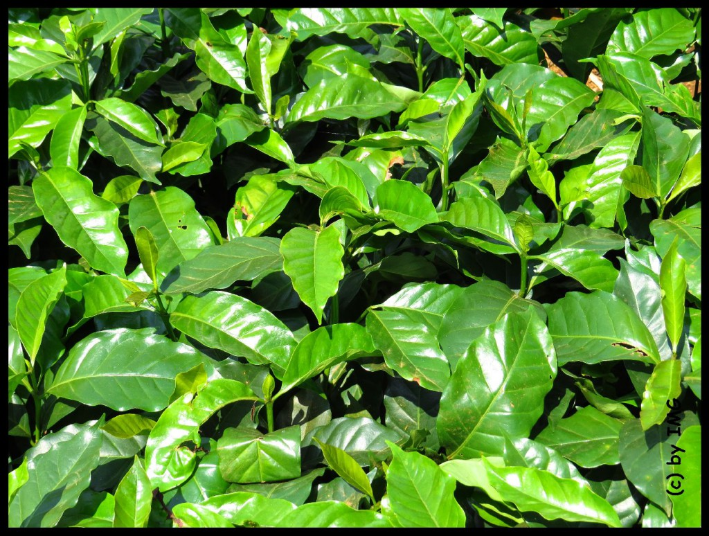 05.08.14 Kaffepflanzen Laos